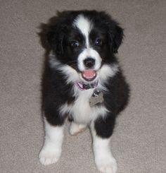 Chloe - my aussie shepherd pup at 8wks old <3