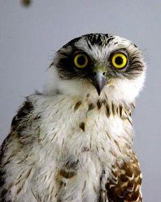 powerful owl - endangered - [someone else's caption]