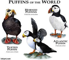 Puffins of the World....ROGER D HALL.....a scientific illustrator specializing in wildlife and architectural subjects....predominantly self-taught....works with pen and ink....artwork has appeared in numerous media (newspaper, books, website, etc)....a Minnesota native now based in Oakland, California....associated with several zoos and aquariums in the US