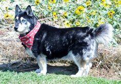 corgi husky mix Corgi Husky Mix, Mans Best Friend, Best Friends, Amazing Dogs, Mixed Breed, Best Dogs, Fur Babies, Sassy, Cute Animals