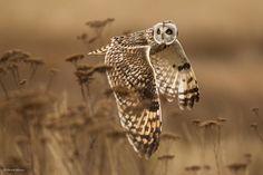 owl flying low