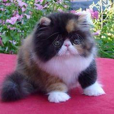 Sweet little angel kitty cat (Persian calico).