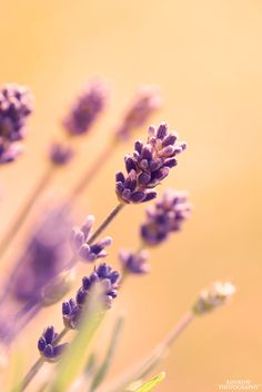 The scent of lavender on a summer day.