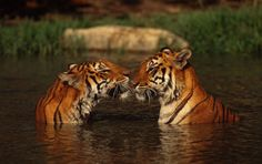 We have lost 97% of our wild tigers this century.(via WWF)
