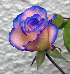 Blue-tipped rose
