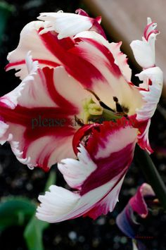 Beautiful Red & White Parrot Tulip by lorenathiessenphoto on Etsy