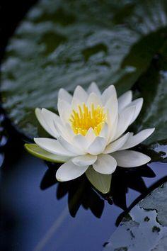 silence ... perfect white water lily ... still water ... reflection ...Beautiful..