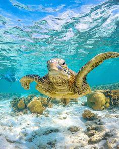 Sea Turtle by Mark Fitz Underwater Sea, Underwater Creatures, Ocean Creatures, Cute Turtles, Baby Turtles, Sea Turtle Wallpaper, Hawaiian Sea Turtle, Save The Sea Turtles, Ocean Pictures