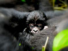 Ndeze 6 year old gorilla orphan Gorilla Gorilla, Silverback Gorilla, Zoo Animals, Cute Baby Animals, Uganda, Baby Gorillas, Orangutans, African Jungle, Ape Monkey