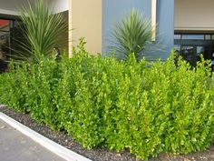 Griselinia Broadway Mint bushes - sun or shade, glossy green leaves