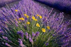 Blanco, Texas calls itself the Lavender Capital of Texas.  The Blanco Annual Lavender Festival occurs about the second weekend of June.