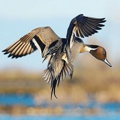 Waterfowl Hunting, Duck Hunting, Taxidermy Display, Duck Pictures, Fishing Apparel, Bokeh Background, Game Birds, Fishing Outfits, Colorful Birds
