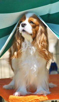 Which Sunscreens Are Safe For Dogs? Which Sunscreens Are Safe For Dogs? King Charles Puppy, Cavalier King Charles Dog, King Charles Spaniel, Cavalier King Spaniel, Cute Dogs And Puppies, Doggies, Spaniel Puppies, Beautiful Dogs, Dog Breeds