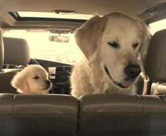 We all need someone to look up to. Puppy looking up to his mom in the car.