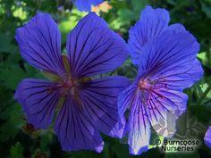 Buy Geranium 'Johnson'S Blue' plants from Burncoose Nurseries