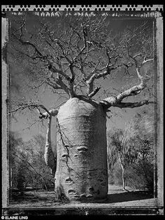 Elaine Ling - Baobab, Tree of Generations Baobab Tree, Black And White Landscape, Travel Route, The Little Prince, Wildlife Photography, Artwork, Nature, Painting, Madagascar
