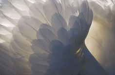 Angel Wings  /  Local  Swan   -    Burnley, England   -      2013    -      Steve W Juk photography       -     https://www.flickr.com/photos/swjuk/8456821176/