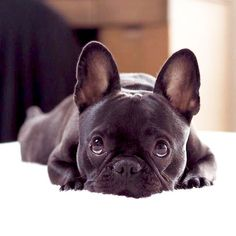 Hokus Theo, the French Bulldog, @hokus_theo on Instagram