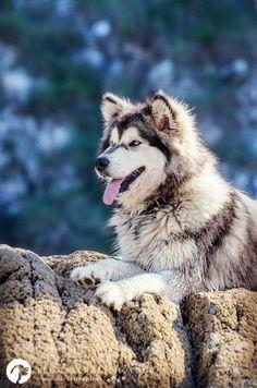 H'YEPA Malamute d'Alaska on Yummypets.com #dog #chien #socialpetwork #pet