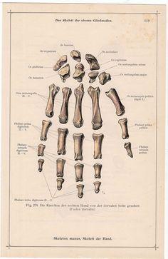 1897 hand bones skeleton original antique by antiqueprintstore Haunted Hospital, Hand Bone, Medical Anatomy, Antique Prints, Skeletons, Body Parts, Hand Coloring, All Print, Bones