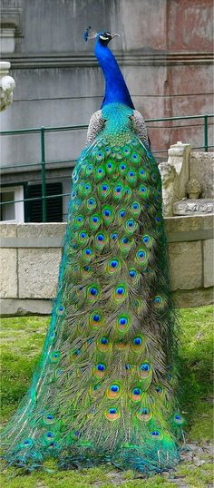 God was dreaming in color the day he created the peacock. Just stunning!