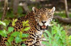 Animais em Extinção no Brasil - ONÇA PINTATDA Considerado o maior felino das Américas, esse animal vive na região do Pantanal e sofre com a caça dos fazendeiros que os matam para proteger seus rebanhos. Além disso, a pele da onça tem grande valor no mercado mundial. (Espécie vulnerável)