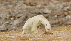Heartbreaking Video Shows Starving Polar Bear On Warming Canadian Island   HuffPost