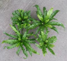 Assorted Birdnest Ferns