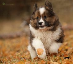 (via Juliane Meyer) Beagle, Icelandic Sheepdog, Dog List, Purebred Dogs, Samoyed, Australian Shepherd, Fur Babies, Dog Breeds, Dogs And Puppies