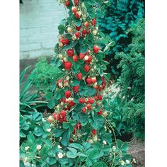 Strawberry 'Mount Everest' - A climbing Strawberry that can be trained up a trellis in a pot and reaches 39 inches.
