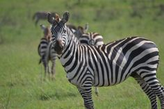 Zebras, Serengeti National Park, Tanzania
