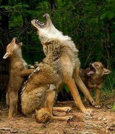 A wolf mother teaching her cubs to howl.