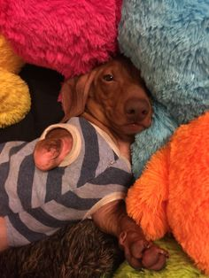 """Dachshund Dobby 3Paws was put into a garbage bag into a box and dropped off at animal control in Athens, Georgia. His right leg was cut off and he had a bad case of Demodex Mange. This hasn't stopped him he runs faster than his brother Elvis and sister Mamie. He's pretty popular he has over 16,000 friends on Facebook. He very funny and has a lot to says. He's famous for saying """"Dis Is Da Ding"""". Dobby's success has encouraged many people to adopt disabled dogs."""