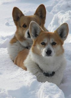 Corgis in the snow