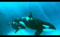 Orca Experts Go to SeaWorld: This SeaWorld ORCA is... 'so depressed it won't nurse its baby' |  Footage captured at SeaWorld by activists show an adult Orca apparently looking so unhappy it stares blankly at walls. John Hargrove, a former SeaWorld Orca trainer, and Dr Ingrid Visser were filming the video as part of an ongoing documentary project called 'SUPERPOD'. [gotoComments]