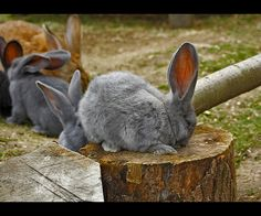 Raising Meat Rabbits Surburban Homesteading.com