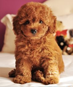 Cute miniature apricot teddy bear poodle! I want one so bad and hypoallergenic too.