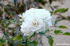Rosa Trepadeira Cristina, Plants, Diy, Romance, Climbing Roses, Rose Trees, Ornamental Plants, Beautiful Gardens, Nature