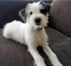 Mies the Jack Russell Mix-Adorable!
