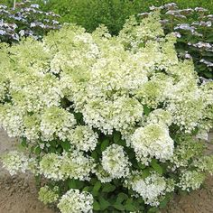 Name: Bobo Hydrangea paniculata 'Ilvobo' White blooms turn slowly pink in the fall. Growing Conditions: Full sun or part shade and moist, well-drained soil Size: To 3 feet tall and 4 feet wide Zones: Source: Order now from White Flower Farm. Bobo Hydrangea, Dwarf Hydrangea, Hydrangea Not Blooming, Hydrangea Garden, Garden Shrubs, Flowering Shrubs, Trees And Shrubs, Shade Garden, Garden Plants