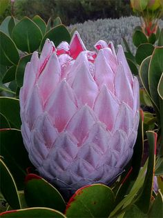 Designs For Garden Flower Beds Giant Protea, Cape Province Protea Art, Protea Flower, Protea Bouquet, Tropical Plants, Tropical Flowers, Unusual Flowers, Beautiful Flowers, Floral Drawing, Arte Floral