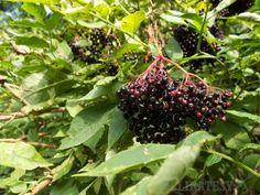 Keď sa aj stonky plodov zafarbia na červeno. Korn, Blackberry, Herbs, Fruit, Health, Syrup, Blackberries, Salud, Health Care