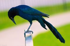 Great tailed Grackle -