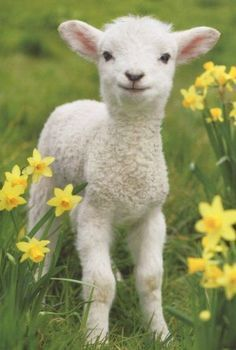 Cute Lamb Cute Lamb Easter Cards Pack of Baby Animals Pictures, Animals And Pets, Funny Animals, Lamb Pictures, Baby Sheep, Cute Sheep, Cabras Animal, Lamm Tattoo, Cute Lamb
