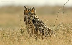 Indian Eagle Owl (Bubo bengalensis). Photo by Vijay Cavale.