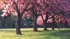 Amazing Beautiful Forest Nature Colorful Pink Perfect Peace Dream Gorgeous Inspiration Natural Art Poster Print Best Picture For Washington dc with kids For Your Taste You Apple Blossom Festival, Flower Festival, Spring Wallpaper, Tree Wallpaper, Photo Wallpaper, Cherry Blossom Tree, Blossom Trees, Apple Blossoms, Beautiful Forest