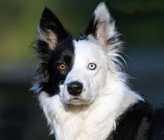 Dog Heterochromia is a genetic trait that, depending on the creature it happens in, can be due to inbreeding, genetic inheritance or mutation. In some breeds of cats, like the Turkish Angora, heterochromia is a desirable trait that breeders try to maintain.