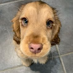 Puppy Discover Meet Winnie The Cocker Spaniel With Puppy Eyes Becomes An Internet Sensation The cocker spaniel Winnie has become an online sensation for having gorgeous large expressive eyes that has the online user talking about it relentlessly. Cute Baby Dogs, Cute Dogs And Puppies, Doggies, Funny Puppies, Cute Little Puppies, Puppies With Babies, Cute Pets, Funny Dogs, Baby Pets