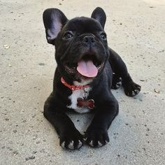 """Receive great ideas on """"French bulldogs"""". They are offered for you on our web site. French Bulldog Puppies, Baby Puppies, Cute Puppies, Dogs And Puppies, French Bulldogs, Doggies, Baby Animals, Cute Animals, Dog Runs"""