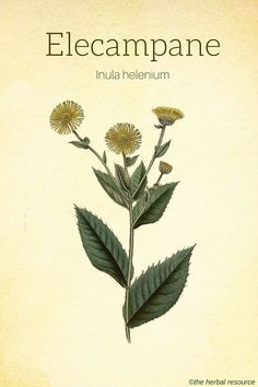 Information on the Health Properties, Acive Ingredients and Dosage of the Medicinal Herb Elecampane (Inula helenium) and Its Side Effects and Benefits